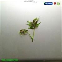 黄柏苗|黄柏树苗价格