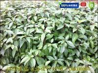 香樟树苗|重庆香樟苗|四川香樟苗